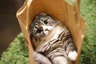 紙袋にいる猫