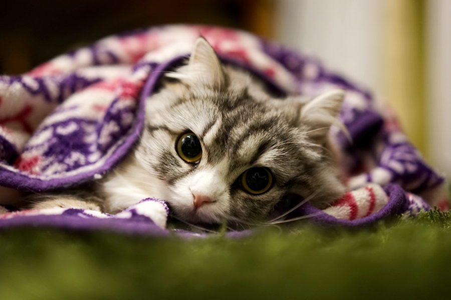 布団にくるまっている猫