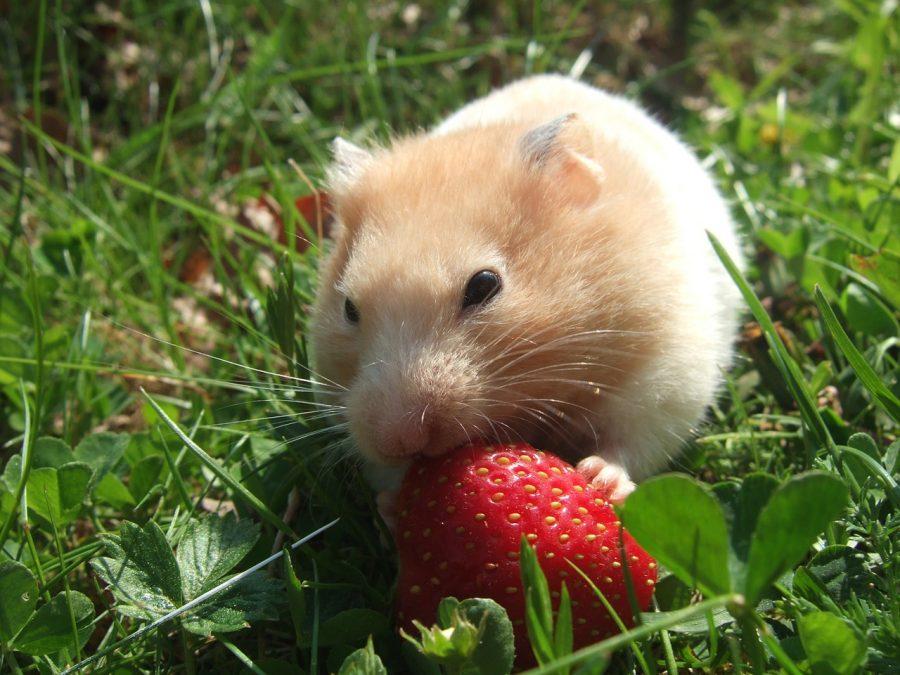 ハムスターイチゴを食べる
